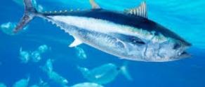 pesce azzurro.jpg