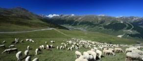 pascolo_pecore_valle_dello_spol.jpg