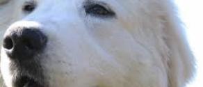cane pastore abruzzese.jpg